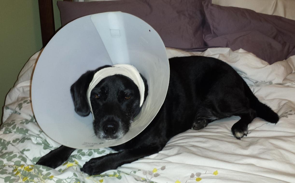 Dakota wearing the Vet One Clinic Collar.