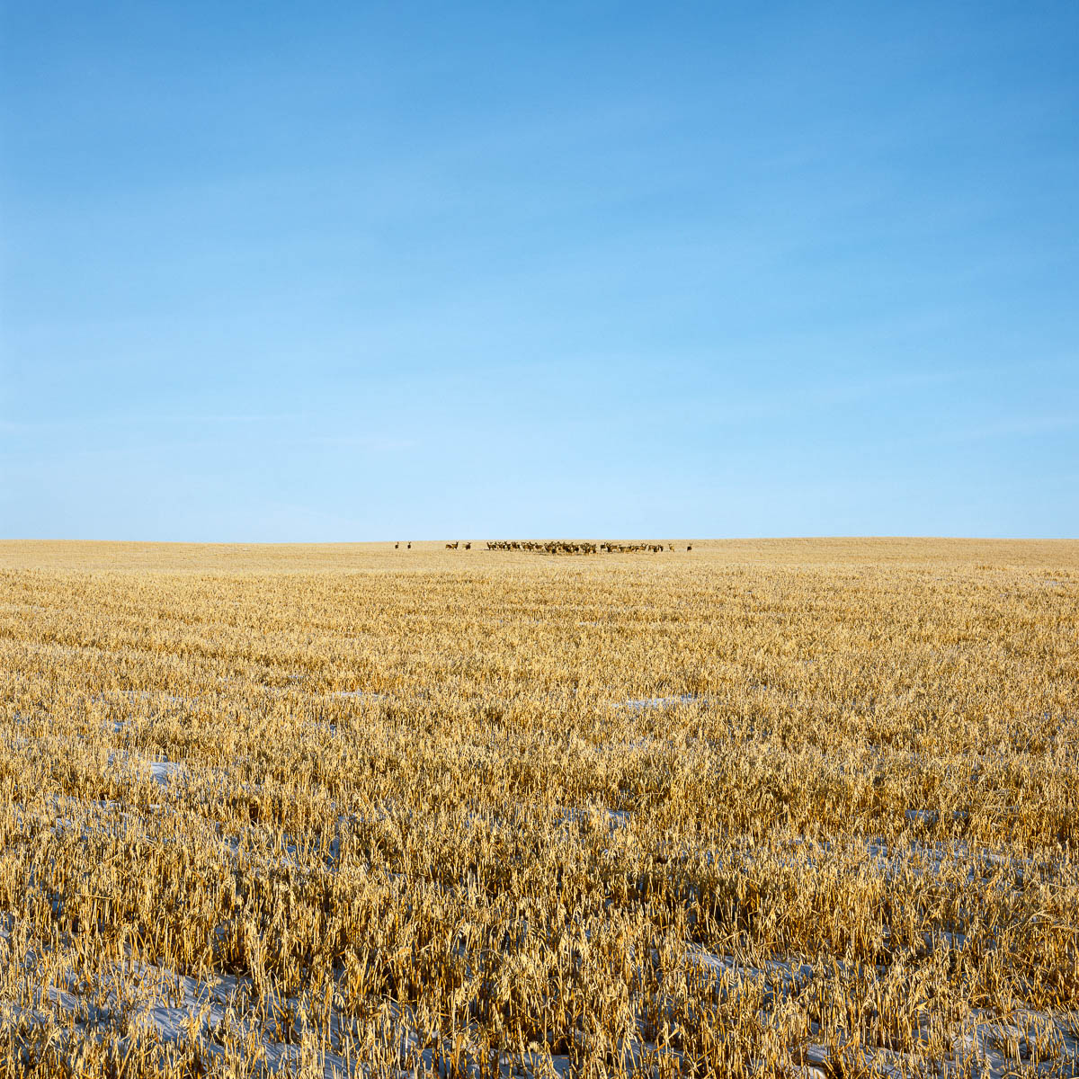 Herd of Deer, Alberta, 2006