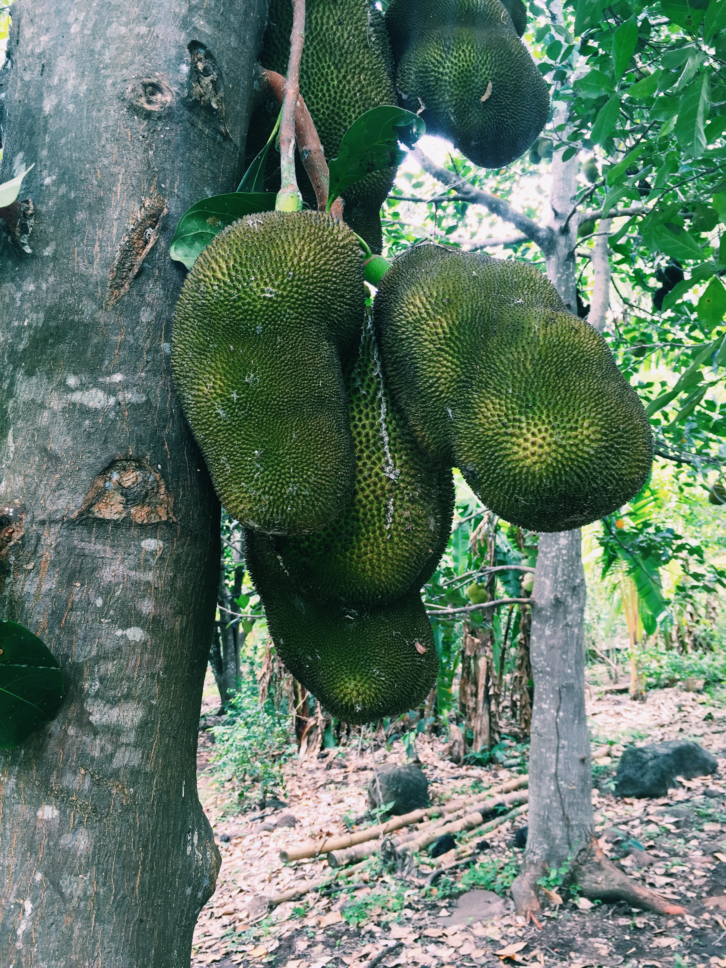 Jackfruit forest. AKA heaven!