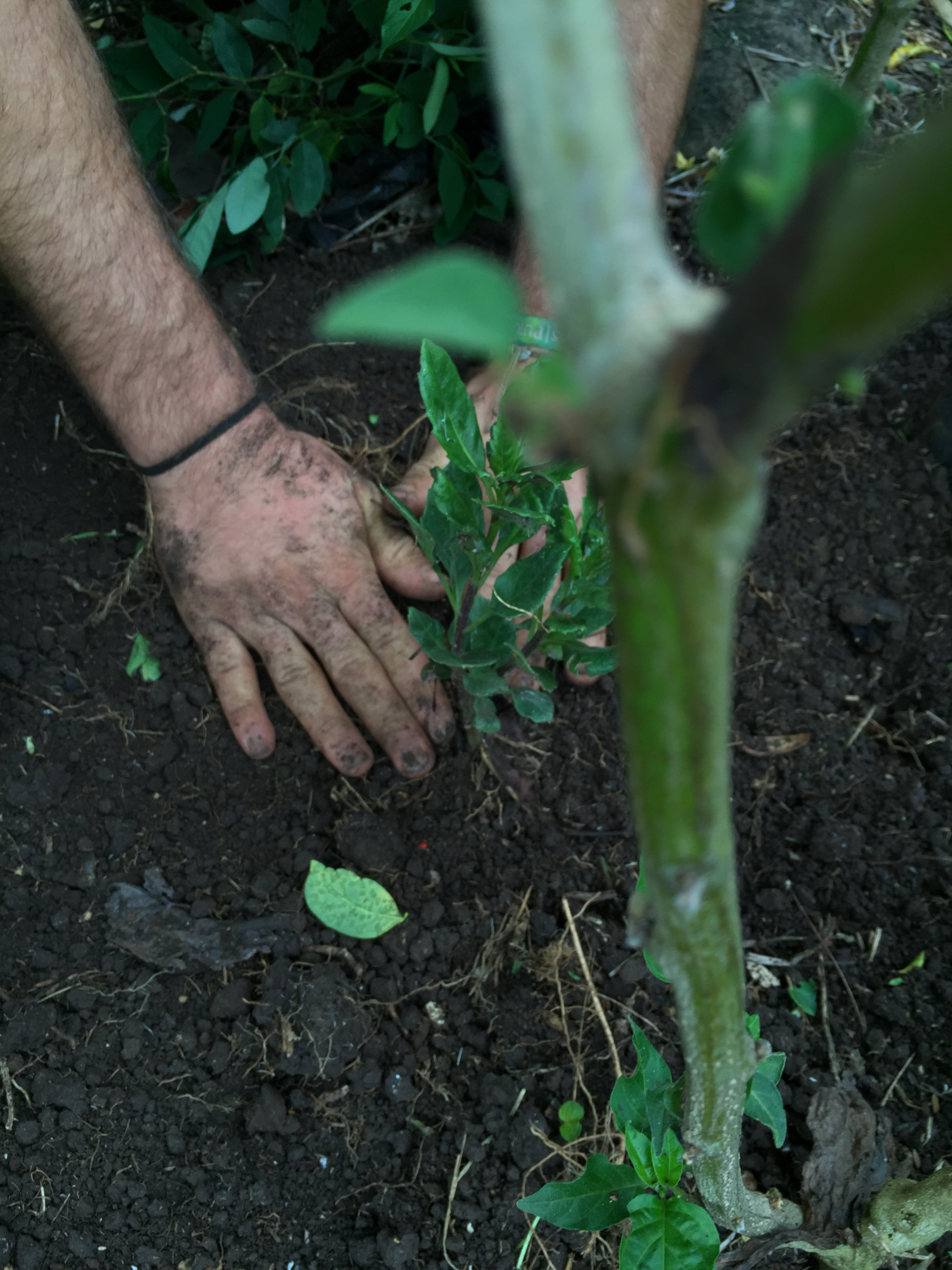 Farmer hands hard at work planting tomato plants in the edible garden