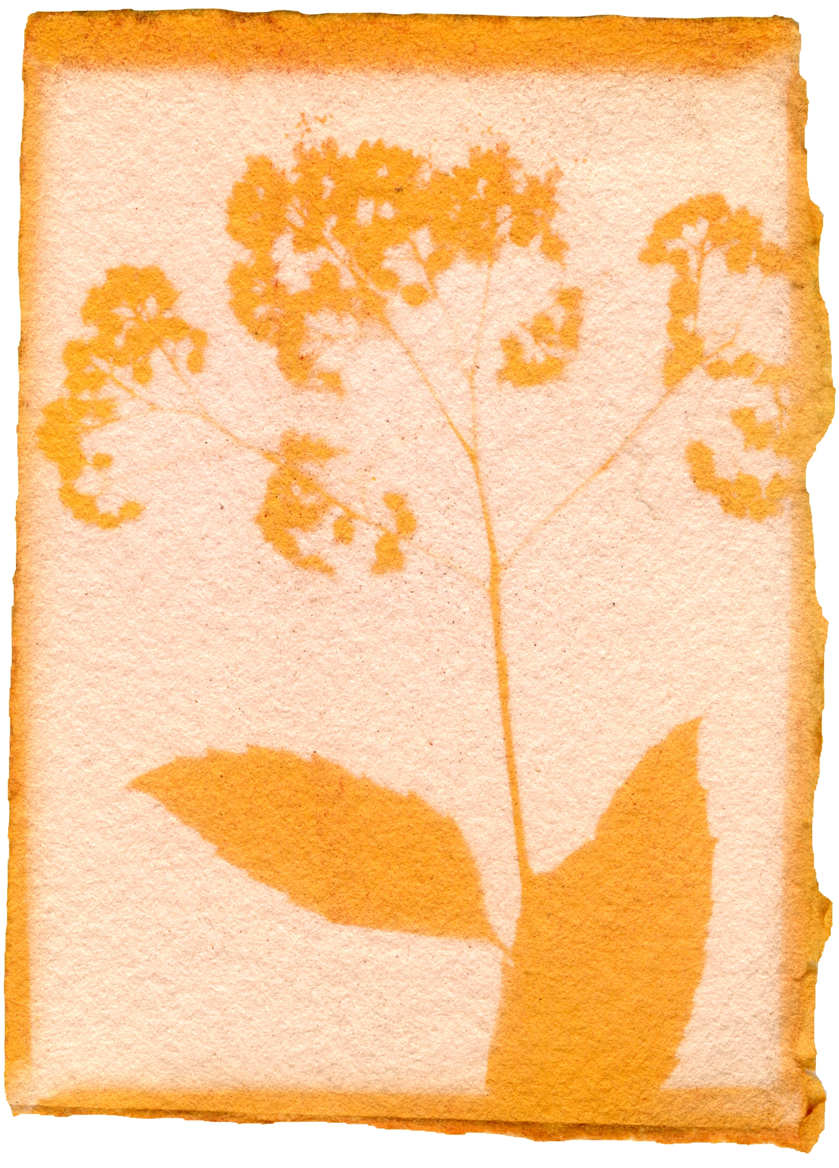 "Spiraea Japonica with Achiote Emulsion, 3.5"" x 2.5"", 2018"