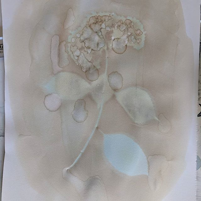 Hydrangea macrophyllas results. Some interesting things happened with the moisture released from the fresh full flowers. The sploches formed some nice marbling. They don't photograph well but there are some really nice details in each. ... ... ... #Anthotype #AlternativeProcess #AltProcess #Photograms #Photography #HuntingtonHipster #PlantBased #PlantPortraits #KitchenOverChemistry #BobKozma #Bobisms
