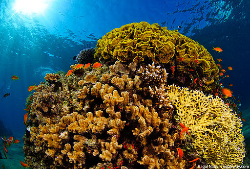 Coral reefs in the Red Sea