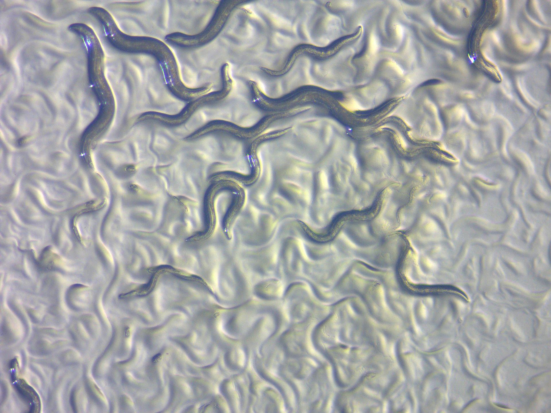 C.elegan worms. Photo courtesy of ZEISS Microscopy Germany/Creative Commons.