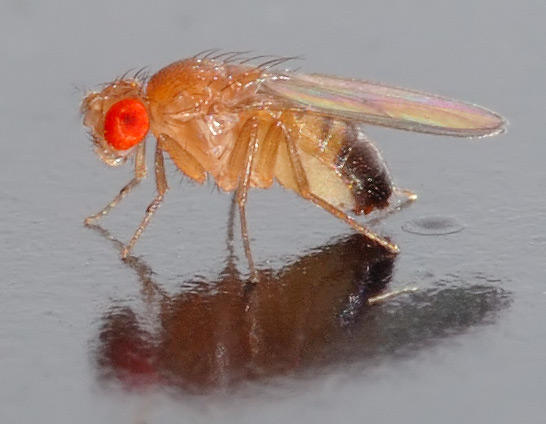 Drosophila melanogaster (fruit fly). Photo courtesy of André Karwath aka AKA/Creative Commons.