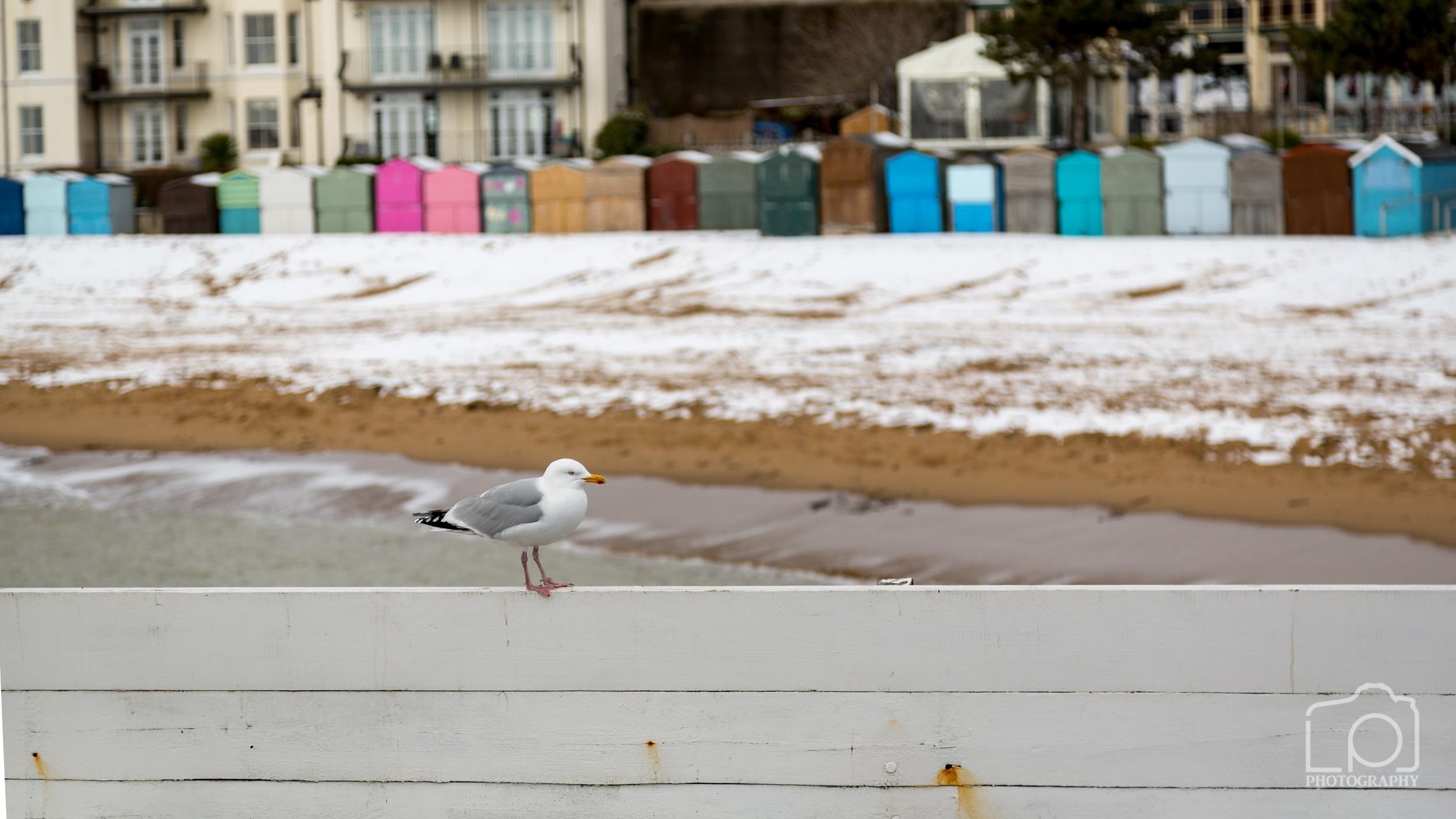 Seagull at Viking Bay