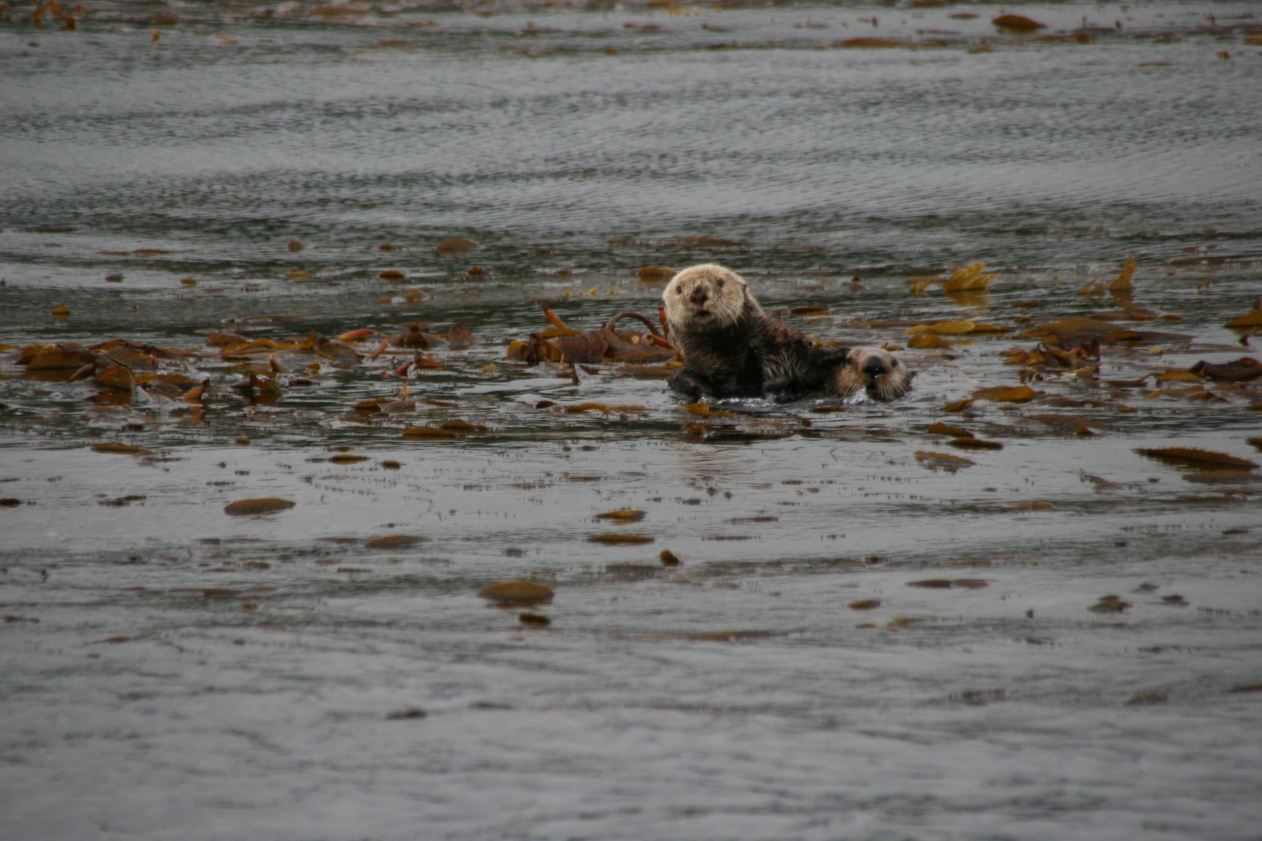 Southeast Alaska Sea Otter