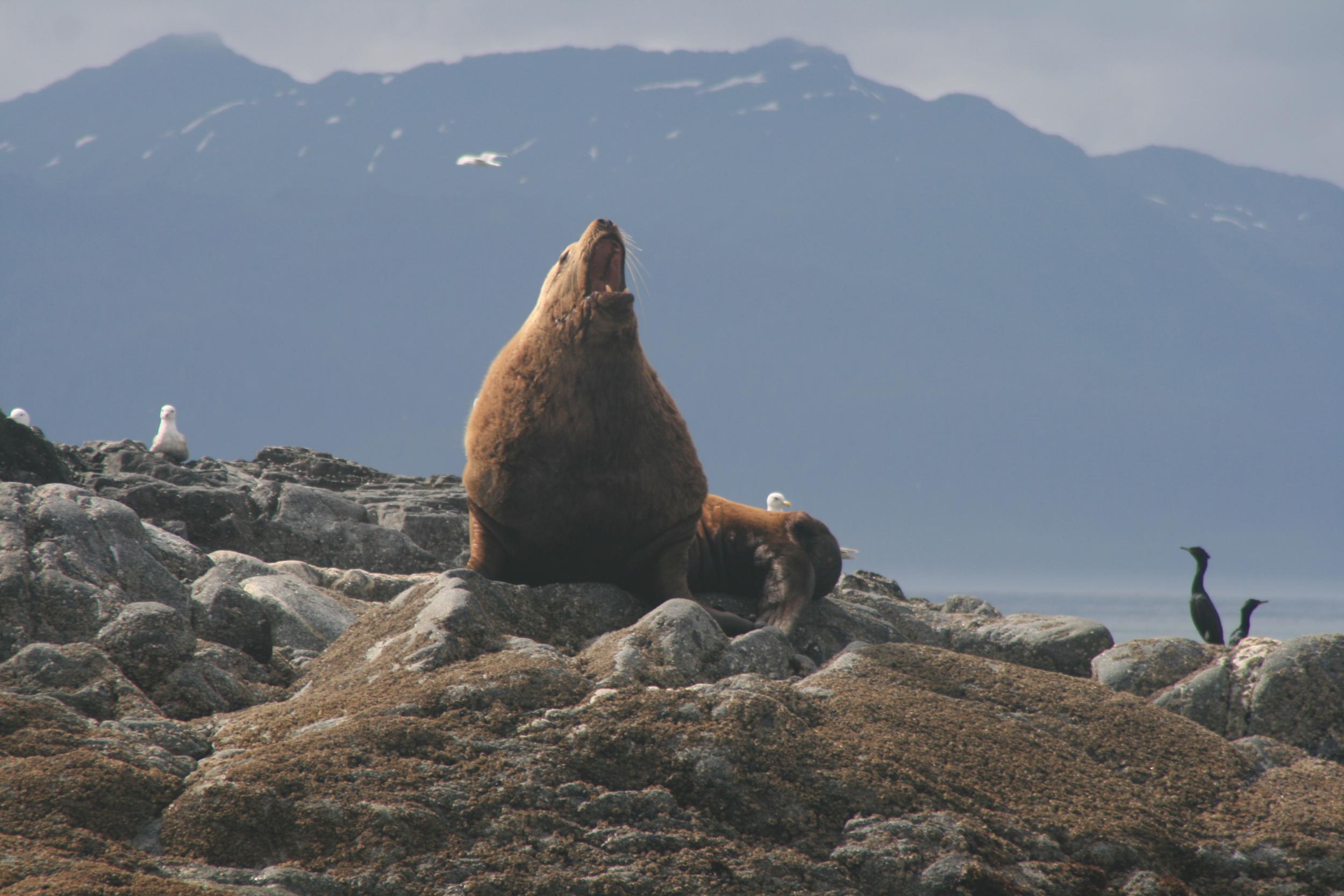 Alaskan Stellar Sea Lions
