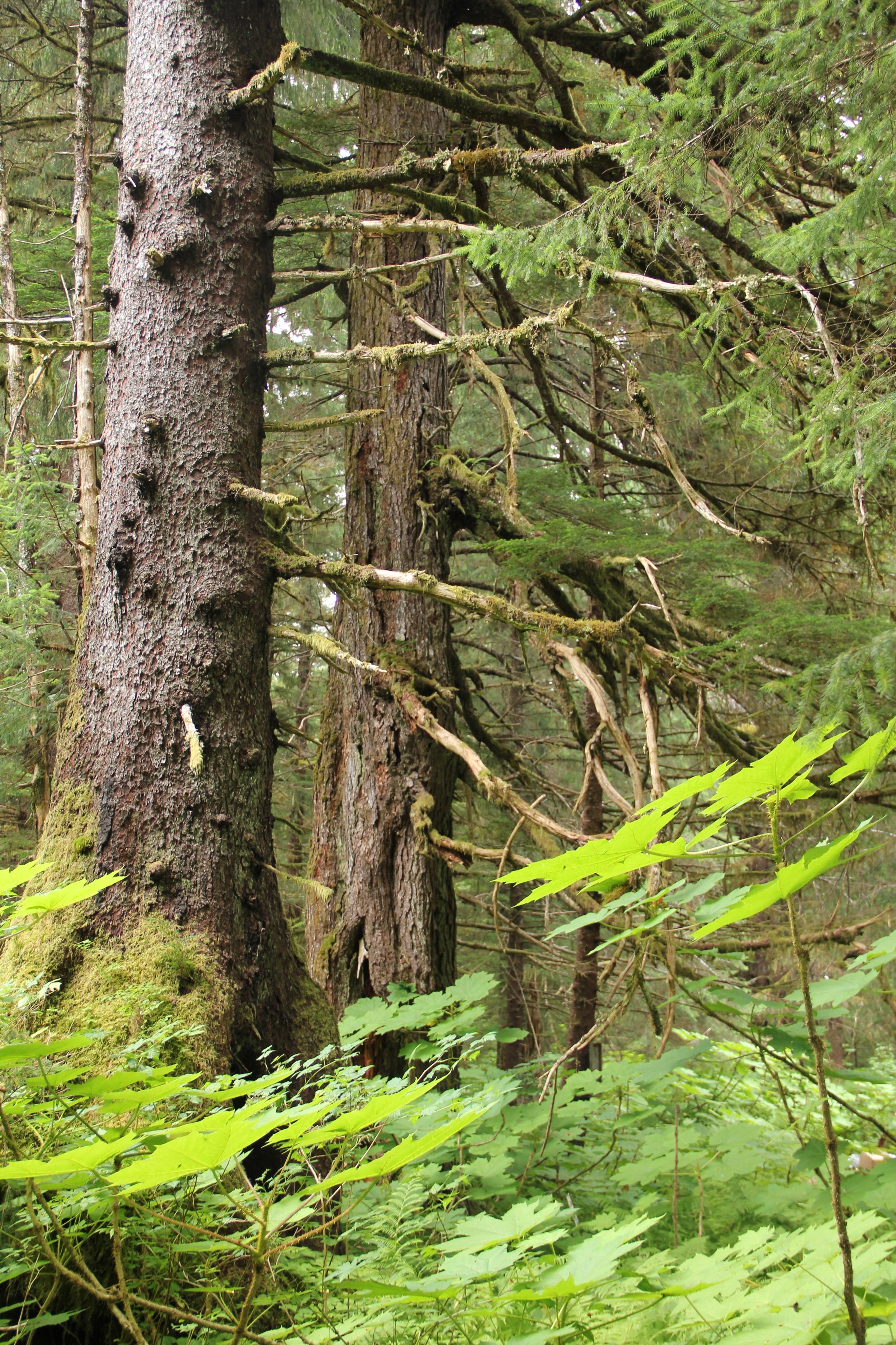 Tongass Rainforest
