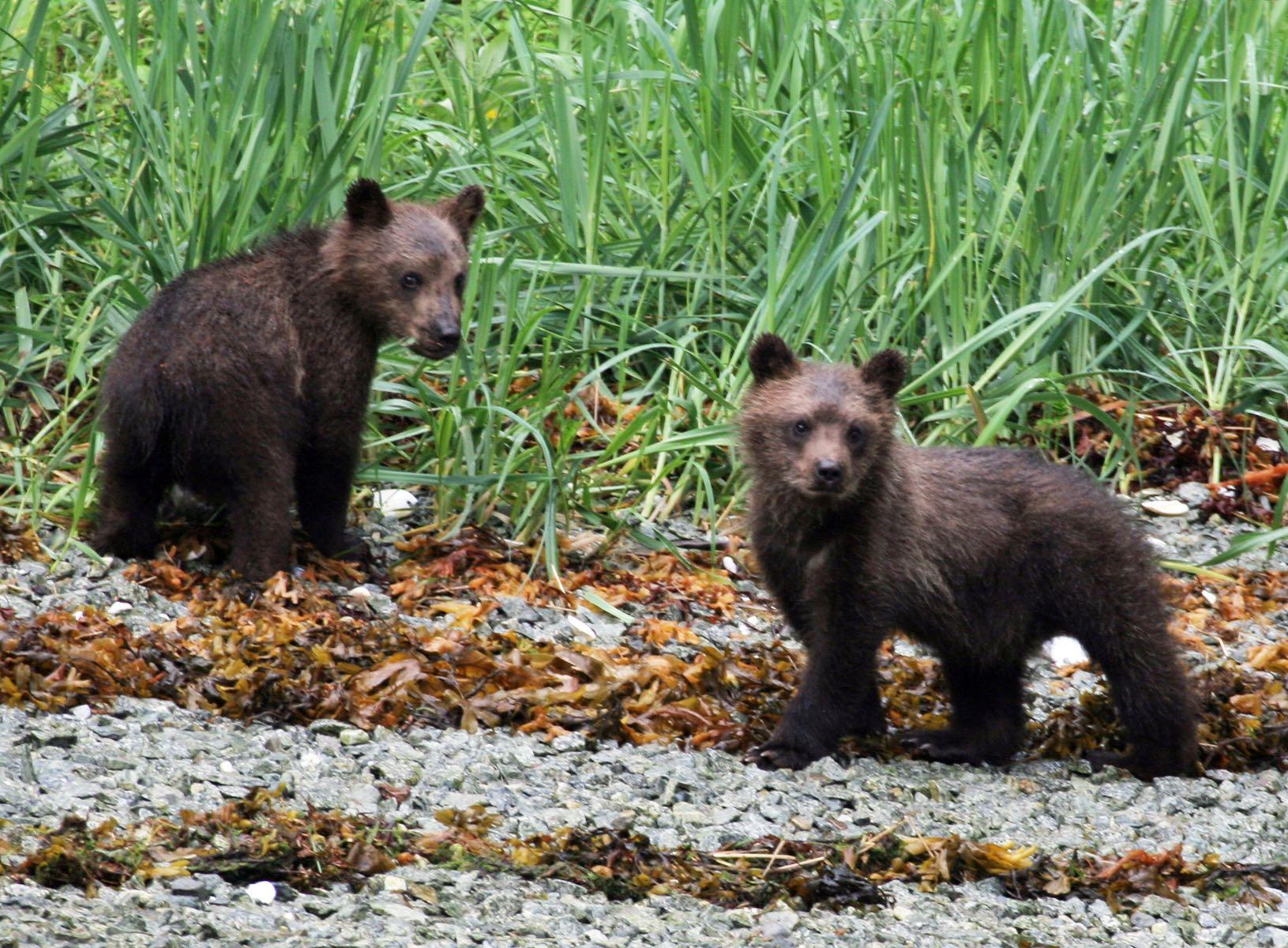 brown-bear-cubs.jpg
