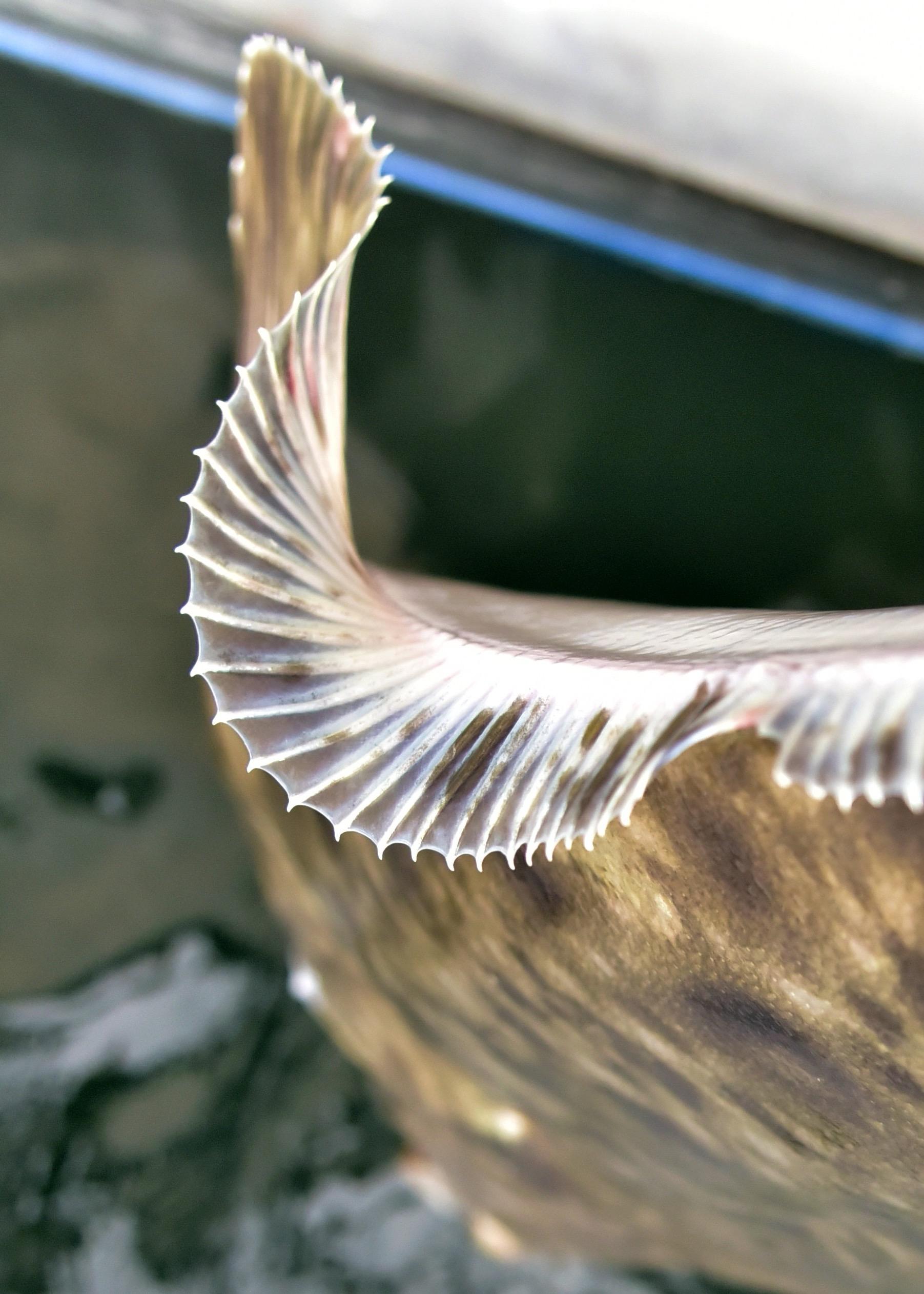 halibut art.jpg