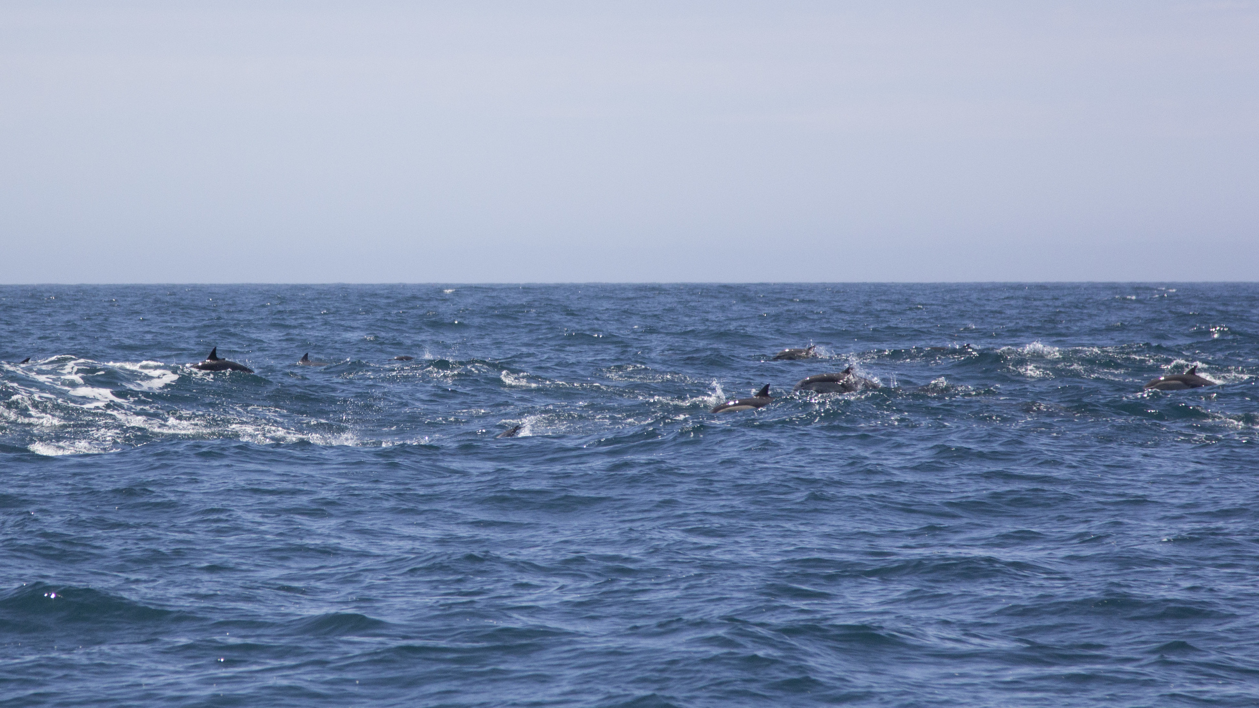 The Pod of Dolphins we saw! Photo Credit: Michael Auffant