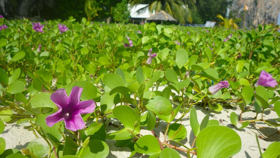 flowers-on-ko-lao-liang
