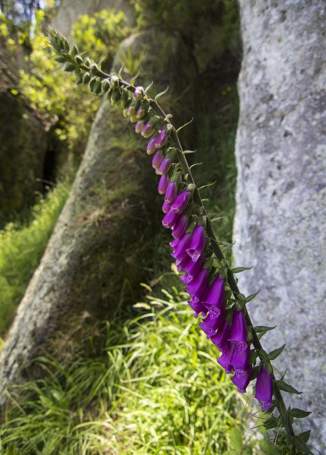 foxglove-flower-froggatt-edge-new-zealand