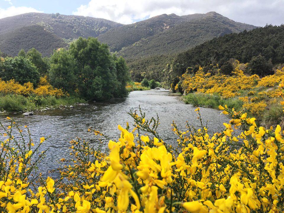 yellow-flowers-new-zealand-north-island