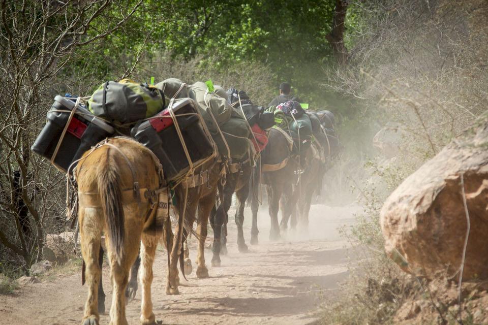 Havasupai Falls Mules carrying gear down to Supai Village.