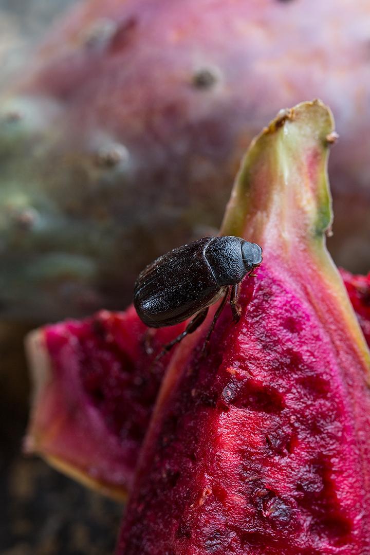beetle_fruit.jpg