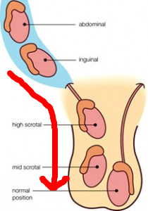Image of testicle descending.jpg