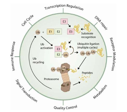 Ubiquitin-mediated Proteolysis.