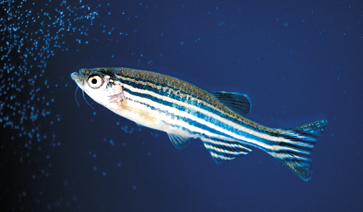 The tropical Zebrafish grow to about 2.5 inches in length.  And they don't like pain.