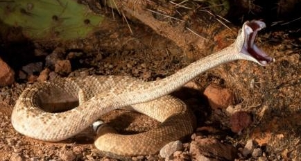 A western diamondback rattlesnake. From  here .