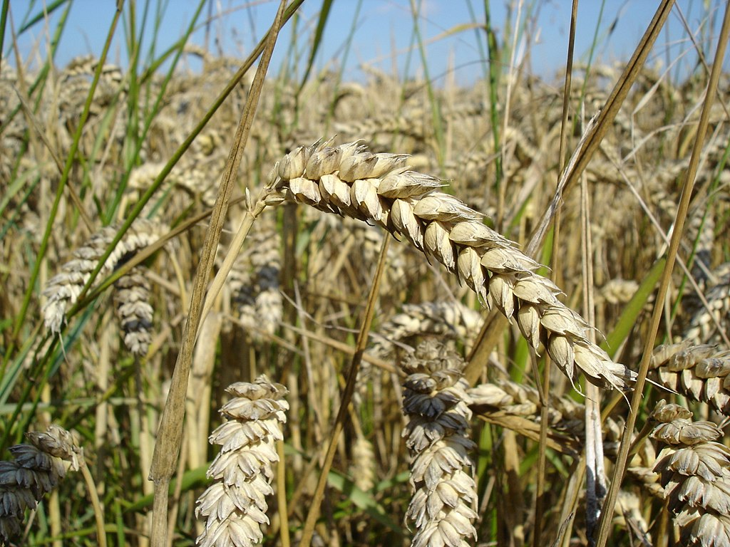 Wheat close-up.JPG