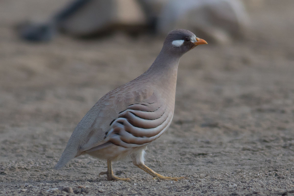 Male sand partridge. Note the beautiful white markings behind the eyes.