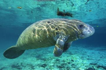 A manatee, or a mermaid?