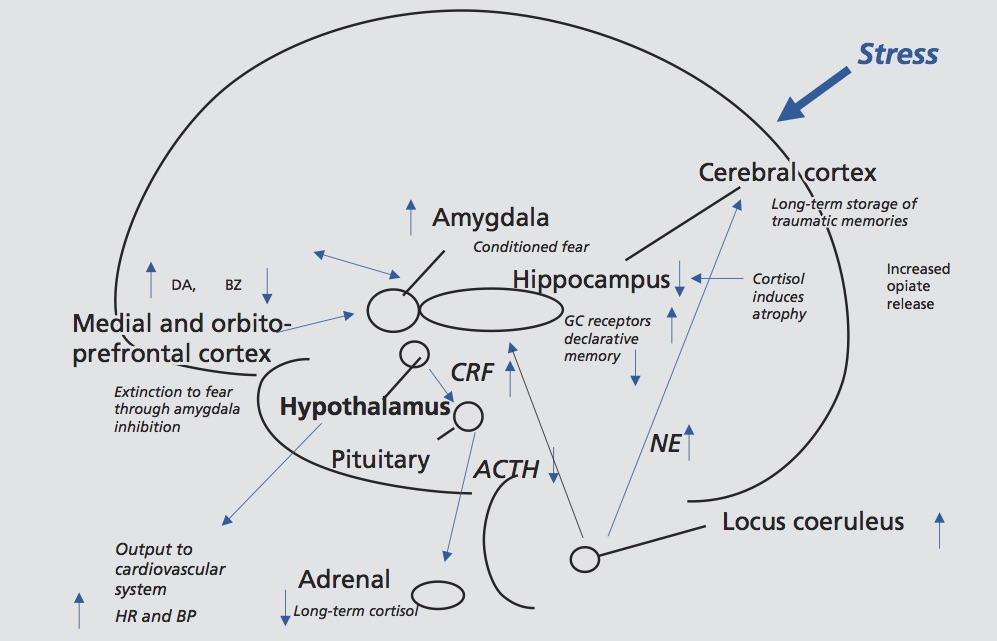 Lasting effects of trauma on the brain, showing long-term dysregulation of norepinephrine and cortisol systems, and vulnerable areas of hippocampus, amygdala, and medial prefrontal cortex that are affected by trauma. GC, glucocorticoid; CRF, corticotropin-releasing factor; ACTH, adrenocorticotropin hormone; NE, norepinephrine; HR, heart rate; BP, blood pressure; DA, dopamine; BZ, benzodiazapine; GC, glucocorticoid. From Bremner J.D.Traumatic stress: effects on the brain .    Dialogues in Clinical Neuroscience     2006; 8 (4): 445-461.