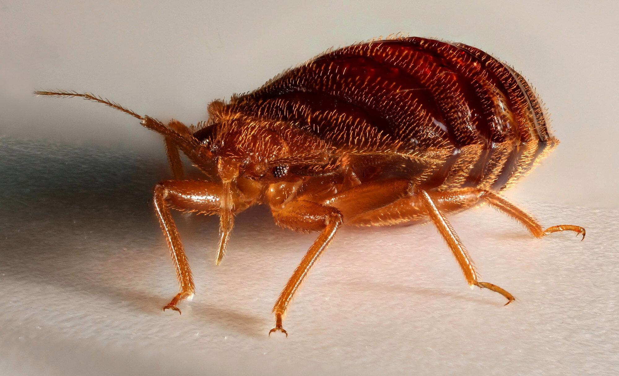 Niddah 58b ~ Bed Bugs — Talmudology