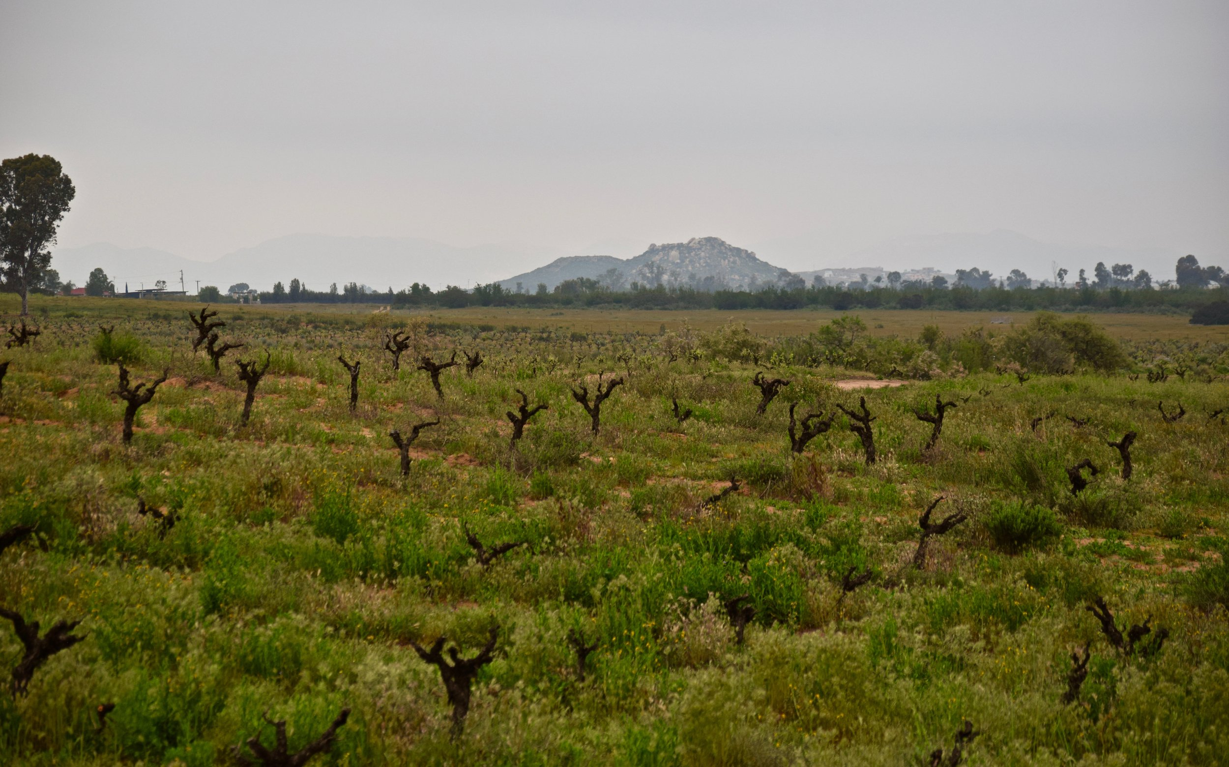 Old vines in Valle de Guadalupe. Photo by Gabriel Manzo.