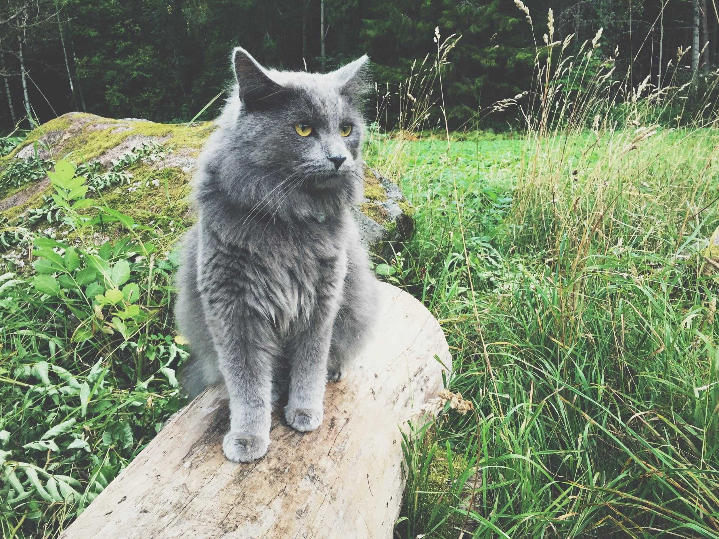 A fluffy cat I found in the forest across the street from Lilla Sunnersta.