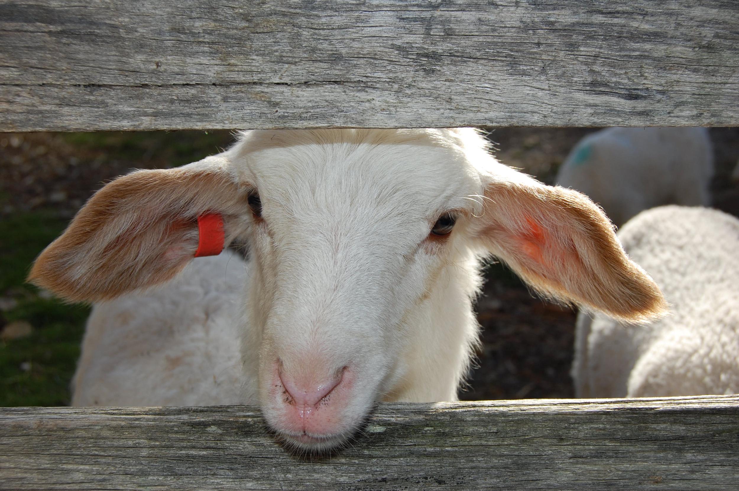Our Lambs.jpg