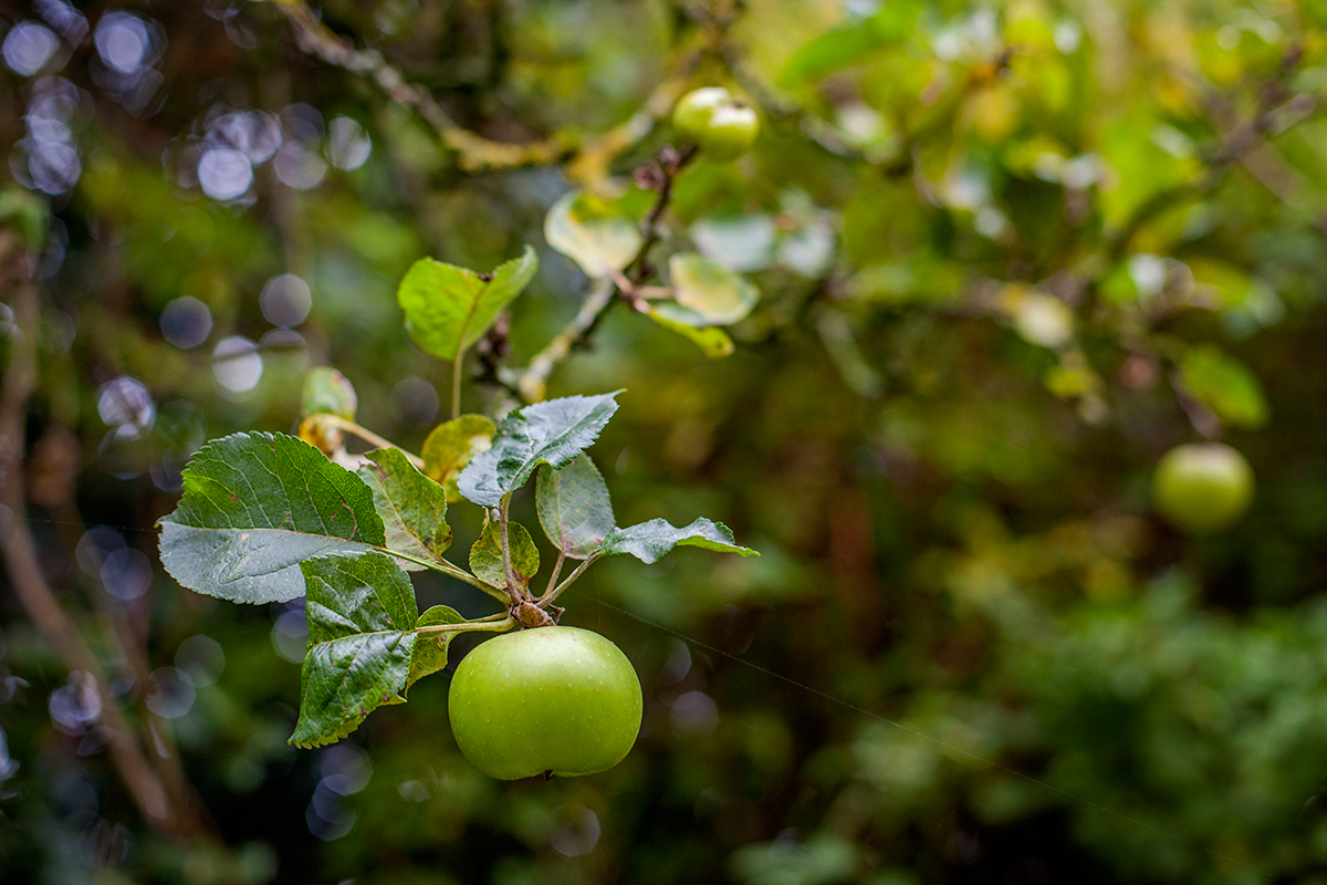bramley apple.jpg