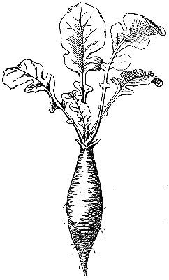 radish-root_1_lg.jpg
