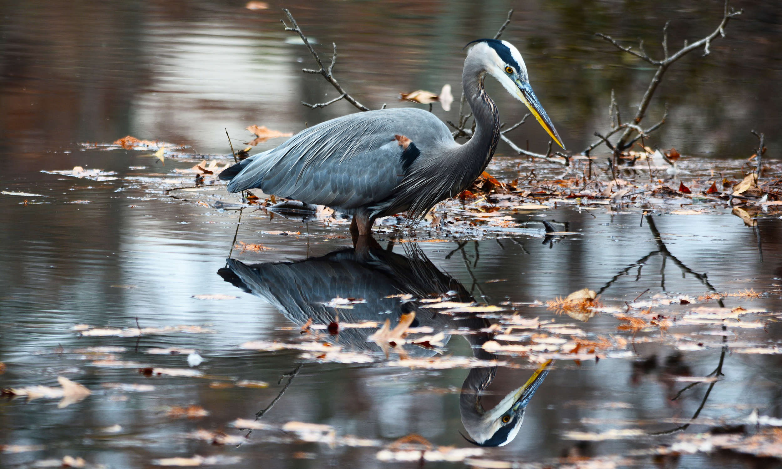 Great Blue Heron foraging on the Smith River 2.jpg