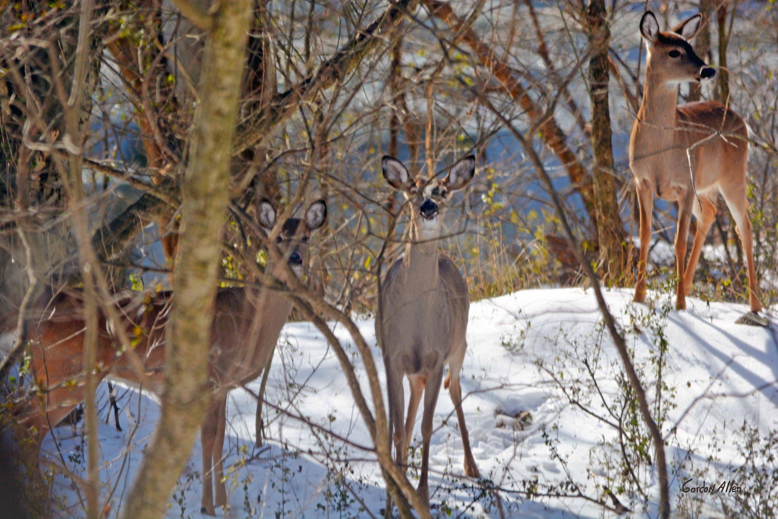 2574_Deer_trio_B-001 hi_res_gordonallen.jpg