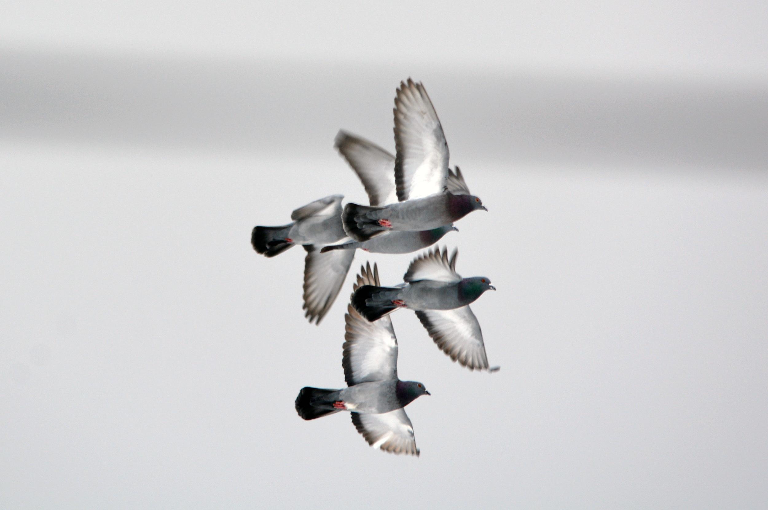 457_Pigeons_2_gordonallen.jpg