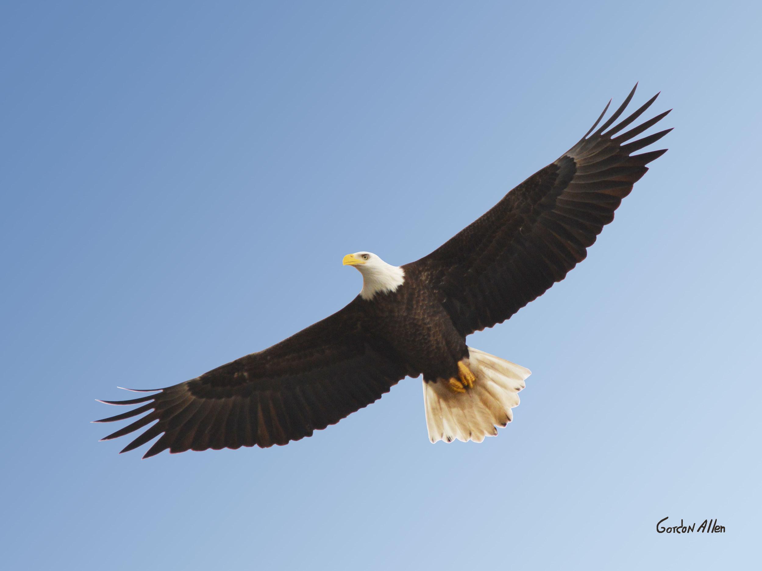 0456_Eagle_ 21x16_gordonallen.jpg