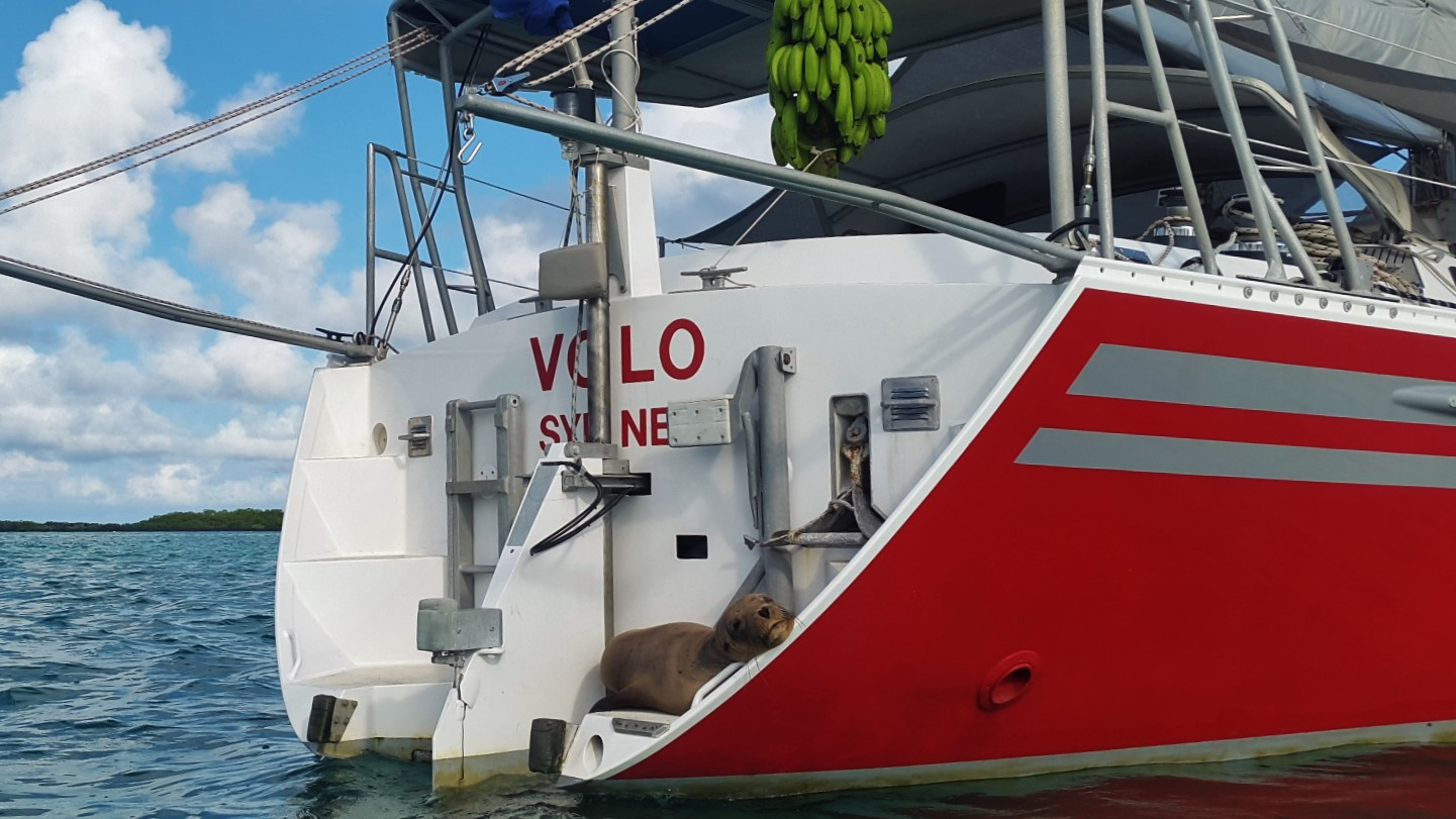 A typical scene in this anchorage: a massive branch of bananas suspended on the aft deck, and a big blob of seal sprawled on the step.