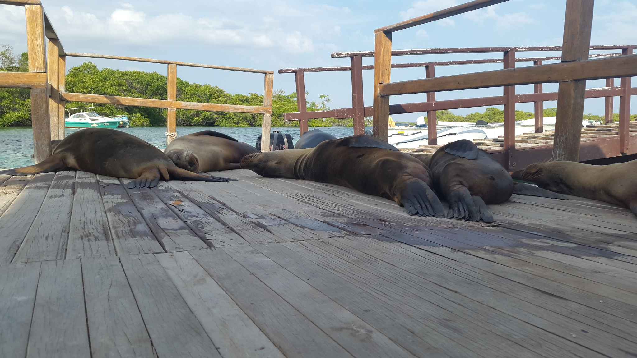 When the sea lions weren't playfully chasing fish around the anchor chain, curiously investigating the bubbles from our snorkels, or racing around the harbor like swallows darting around the sky, they were busy suffering from the worst hangovers in history. They'd pass out wherever they felt like it – park benches, dinghy dock, strangers' cockpits – and make themselves at home. Usually this involved belching, puking, moaning, and biting at anything that came too close to their faces. (Clearly they've never heard of Pedialyte.)