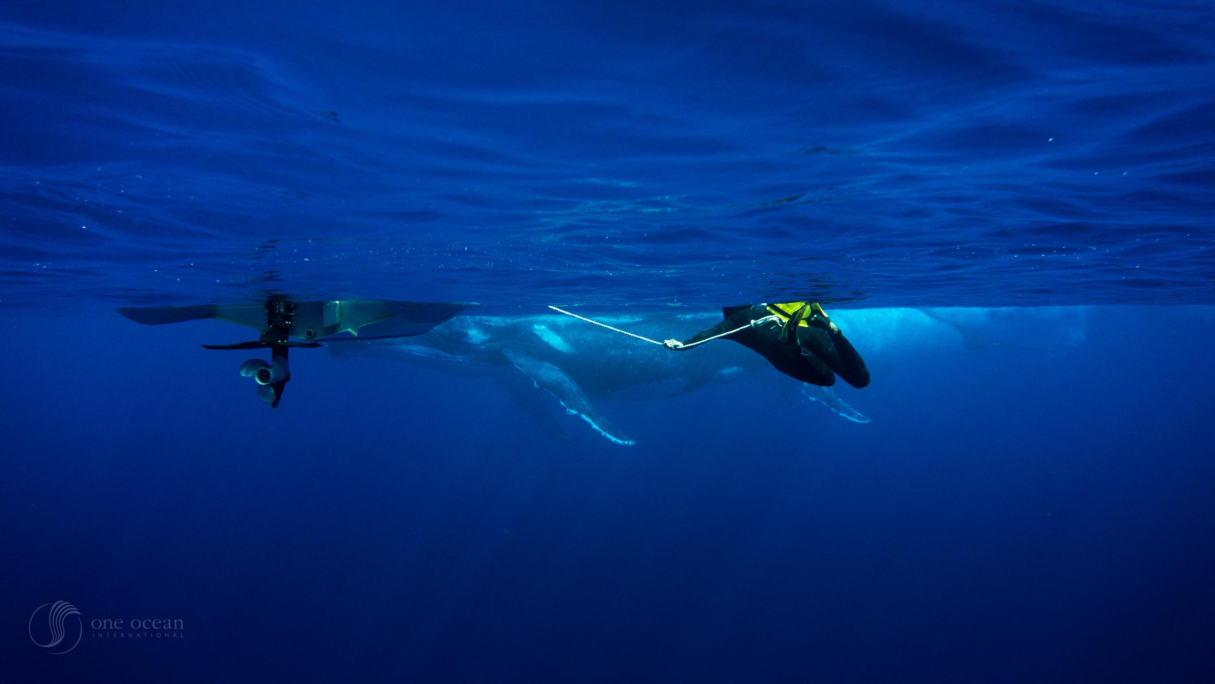 Beveridge Reef Whales-6.jpg