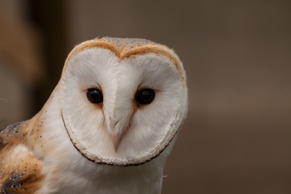 "Wildlife Biologist Carrie Wendt says, ""When it comes to wine making, owls are part of the whole process, because they're rodent-devouring machines."""