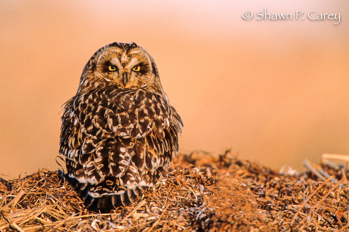 Short-eared Owl, by Shawn Carey/ Migration Productions .