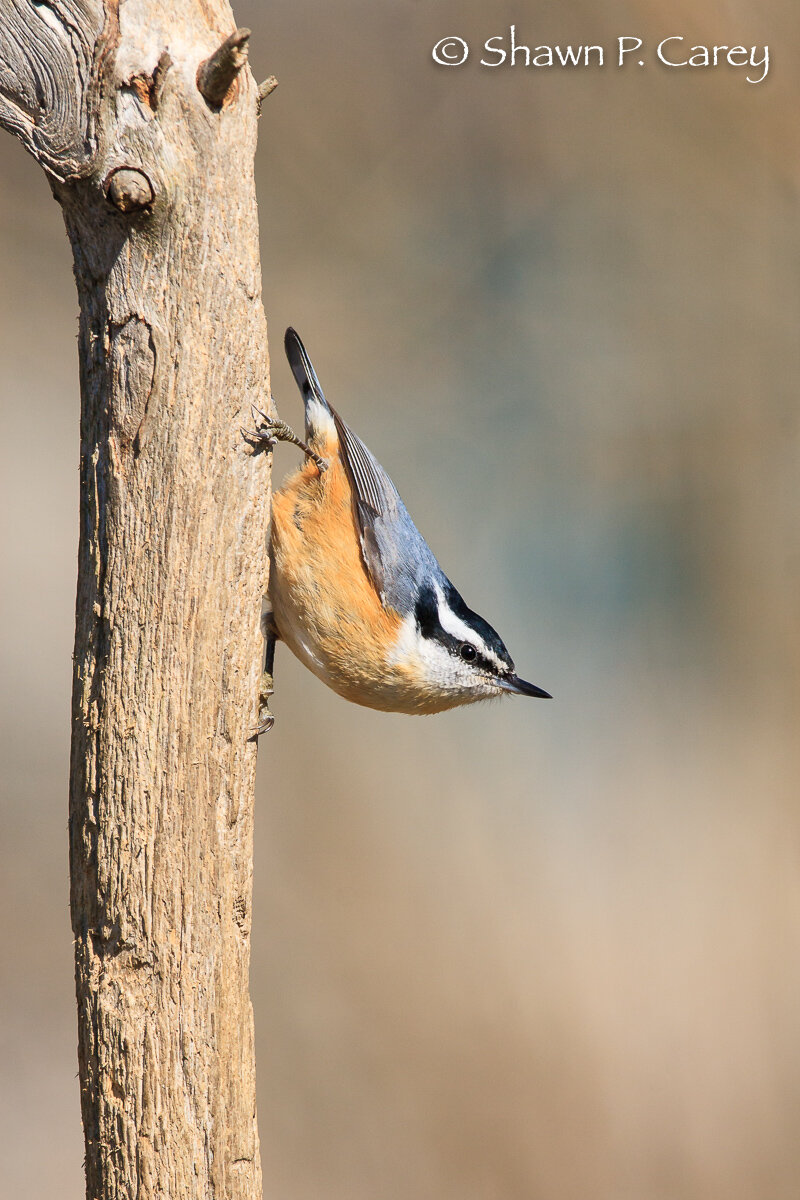 Red-breasted Nuthatch, by Shawn Carey/ Migration Productions