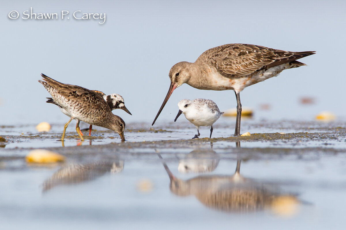 Ruddy Turnstone (left back), Short-billed Dowitcher (left front), Hudsonian Godwit (right larger bird), Sanderling (right, smaller bird).  Photo by Shawn Carey/ Migration Productions