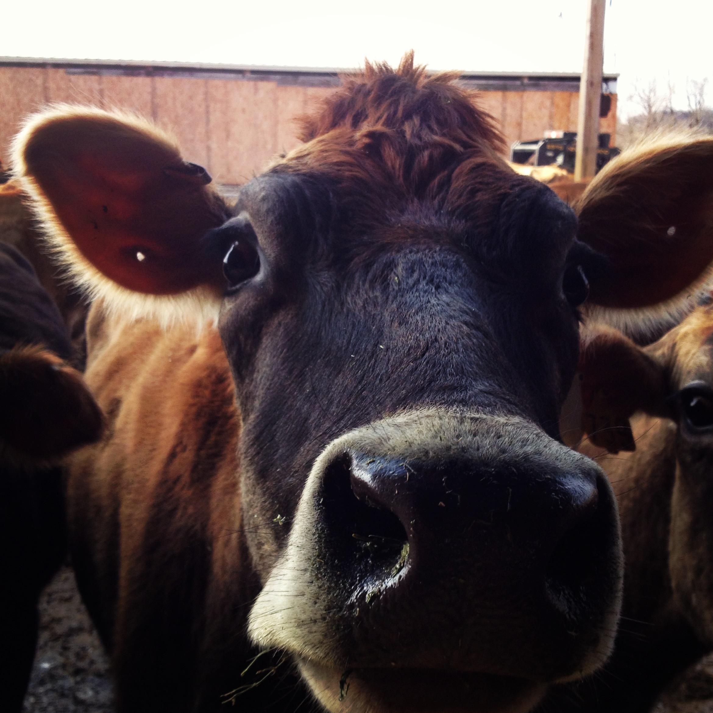 Cow Nose.JPG