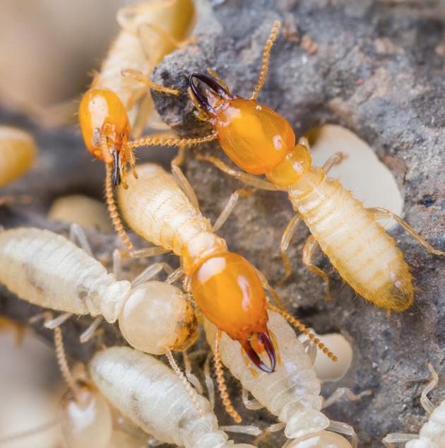 "Formosan Termites<a href=""/formosantermites"">→</a><strong>Coptotermes formosanus</strong>"