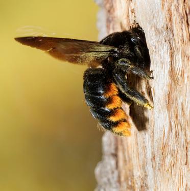 "Carpenter Bees<a href=""/carpenterbees"">→</a><strong>Order Hymenoptera</strong>"