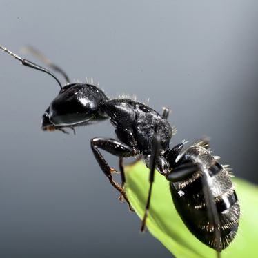 "Ants<a href=""/ants"">→</a><strong>Family Formicidae</strong>"